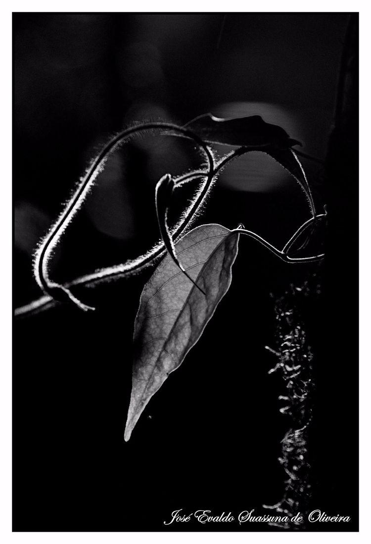 Luz da Mata - flora, folha, plant - jsuassuna | ello