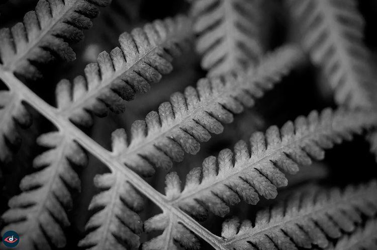 Ferns, BlackandWhite, Photography - lucidillusions | ello