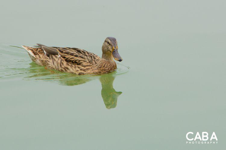 Duck - duck - carlosbaez | ello