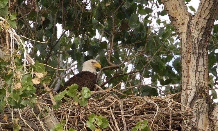 bald_eagle, birds_of_prey, nature - bamps | ello