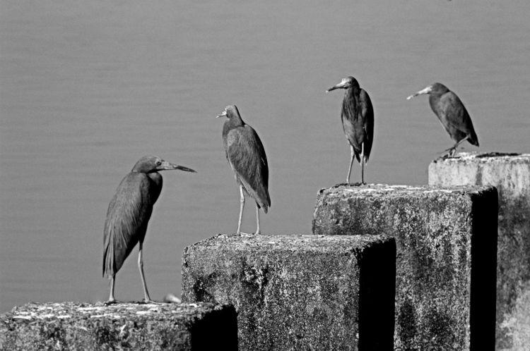 Egretta Caerulea - mangrove, blackandwhitephotography - jsuassuna | ello