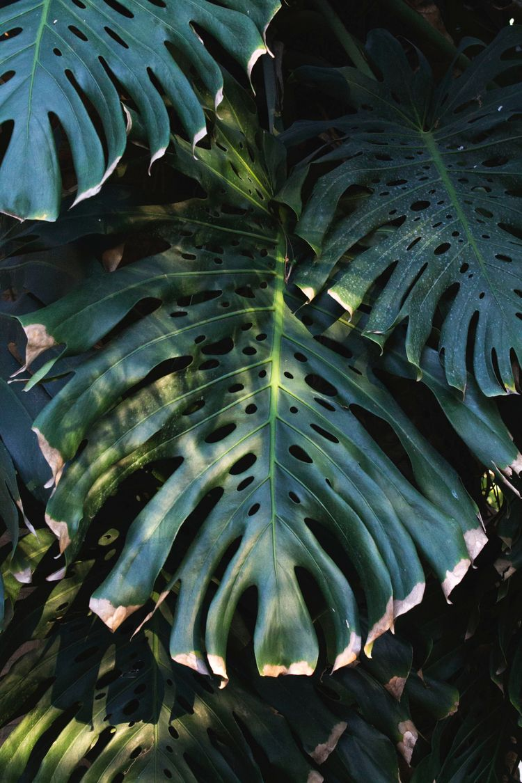Monstera - ellophotography, tropical - albxc | ello