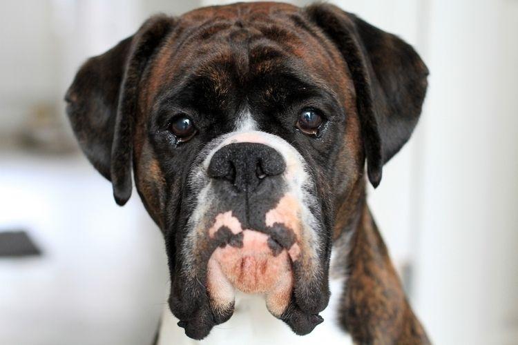 Boxer, Dog, Puppy, Animal, Pet - markwaring | ello