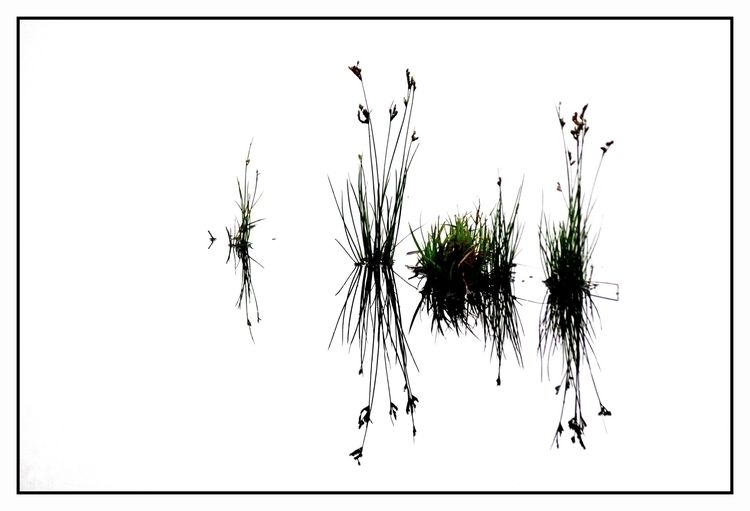 Ikebana - grass, capim, water, reflection - jsuassuna | ello