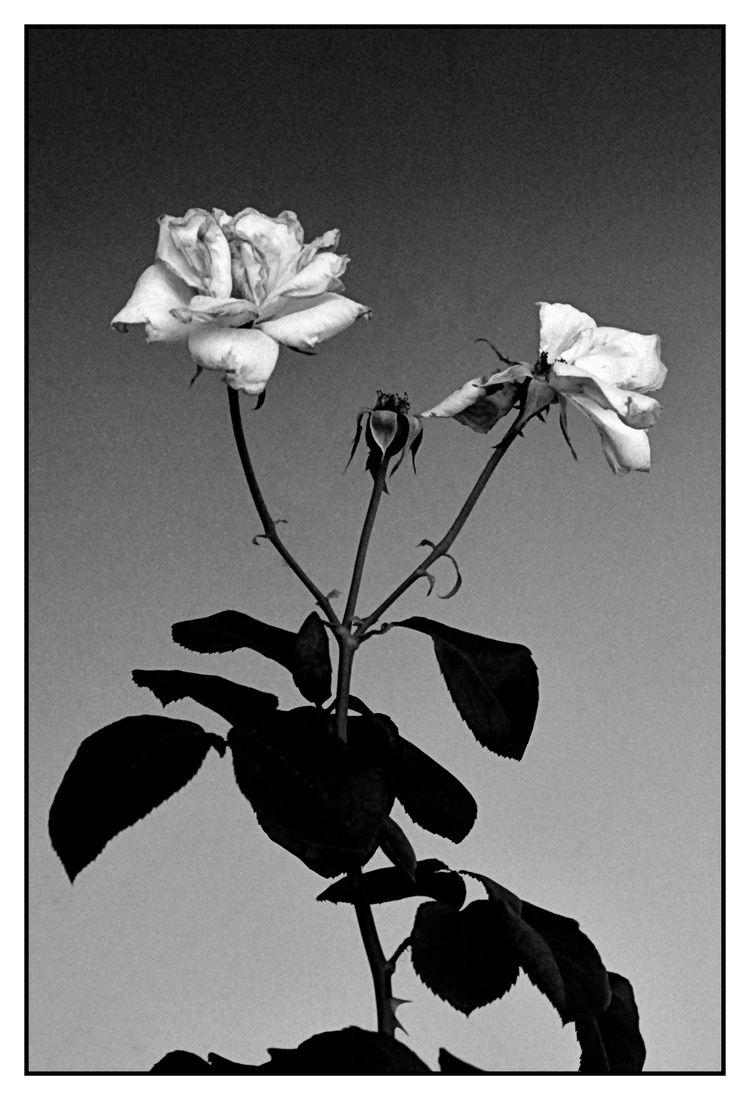blackandwhitephotograpy, rose - jsuassuna | ello