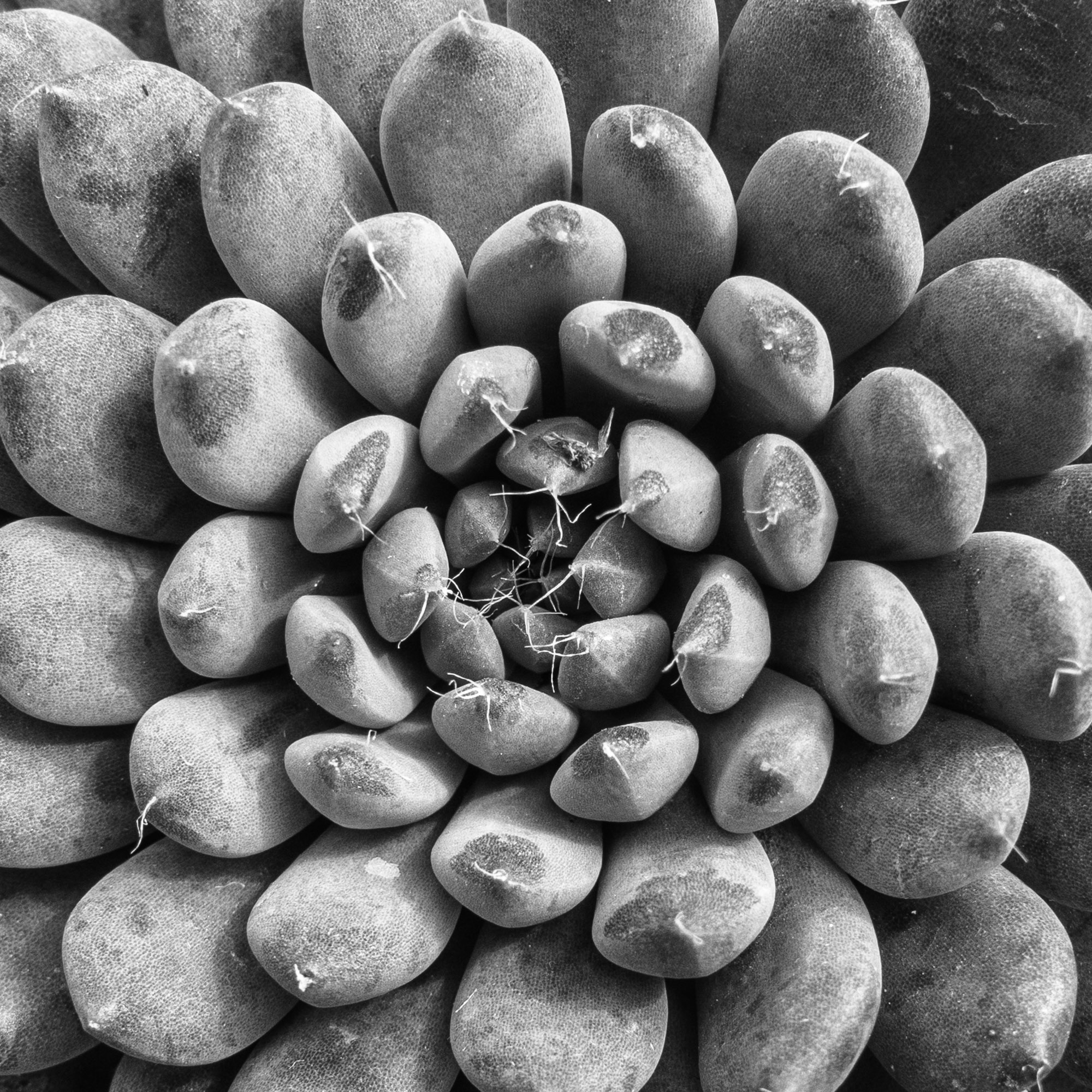 Succulent Series 2 - abstract, blackandwhite - chrishuddleston | ello