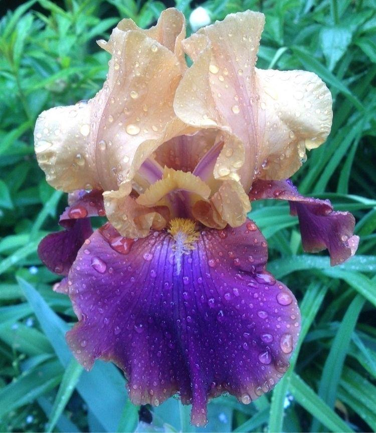 Iris Rideau Lakes Garden! / de  - danielasavage | ello