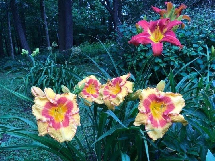 Daylilies Rideau Lakes Garden!  - danielasavage | ello