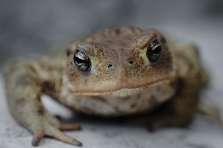 Bully - photography, animal, toad - marcushammerschmitt | ello
