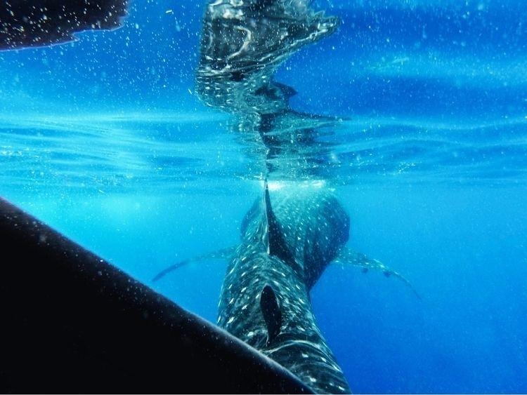 Whale shark coast Mexico - wildlife - petejohnson | ello