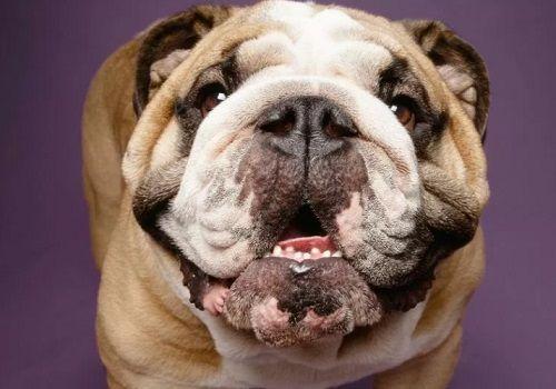 Vets Dog Lovers Buy Pugs, Bulld - natureaddicted | ello