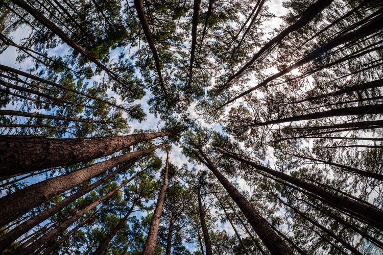 Canopy Pine trees reach sky Tyl - mattgharvey   ello