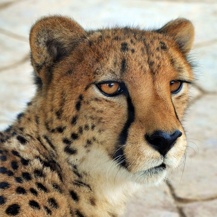 Cheetah - photography, animals - chetkresiak | ello