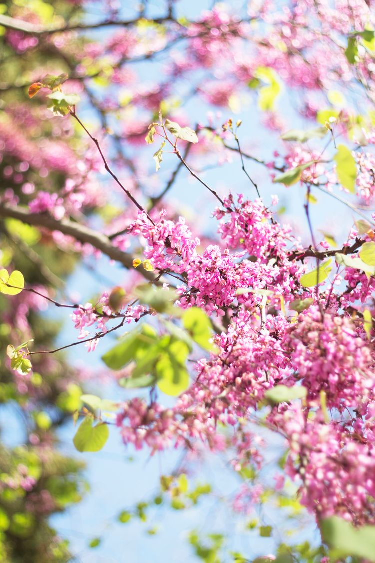 Árbol del amor (Cercis siliquas - albxc | ello