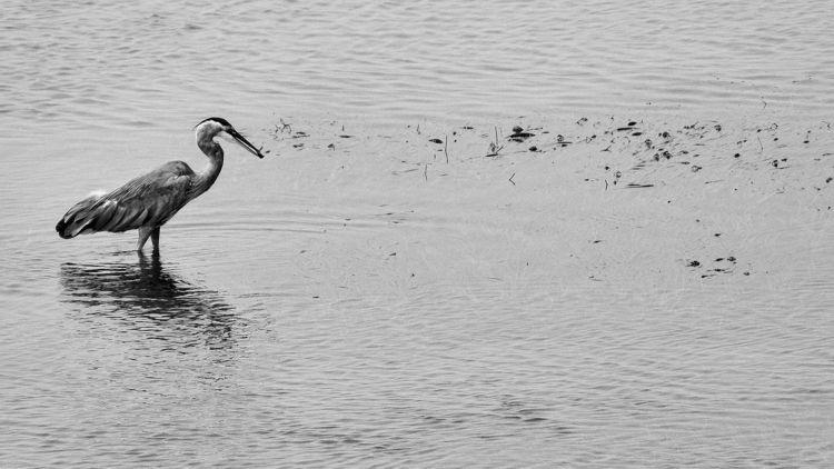 hunter Great Blue Heron enjoys  - camwmclean | ello