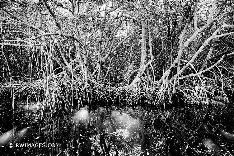 MANGROVE TREES EVERGLADES NATIO - robert-wojtowicz-photography | ello