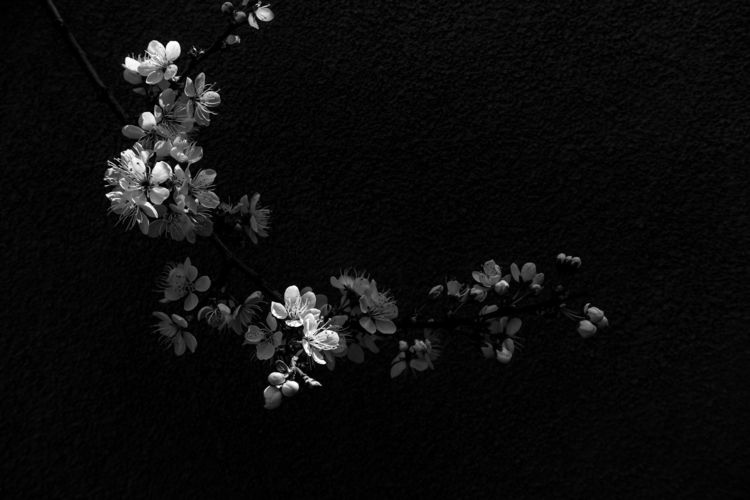 Blossoms - monochrome, monochromephotography - chrishuddleston | ello