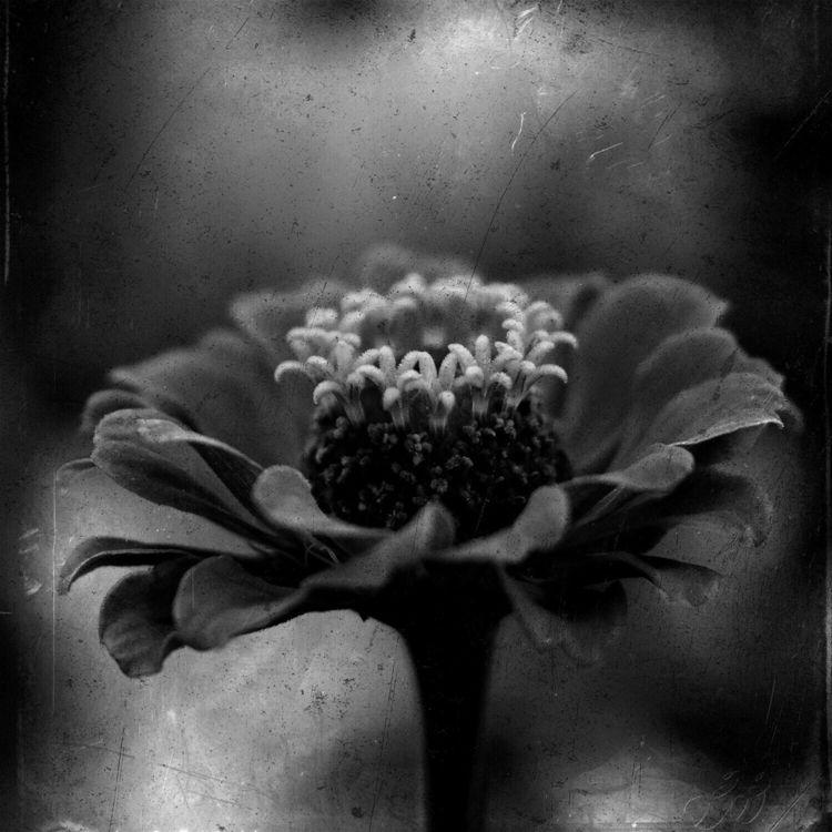 photography, blackandwhite, flower - serdart | ello