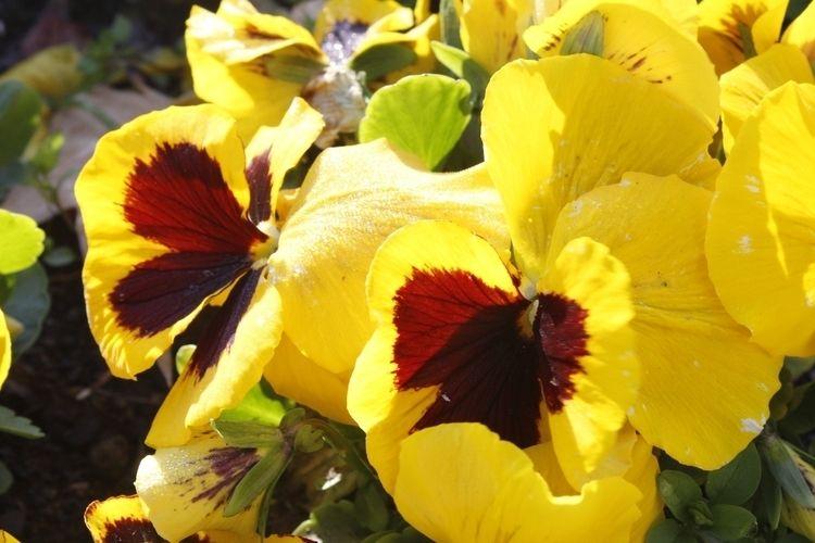 Model: Yellow pansies Place: Pa - jmariagarcia_fotografia | ello
