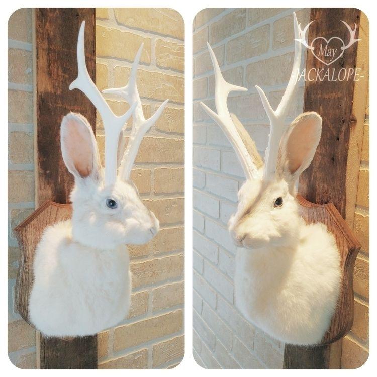 fully white rabbit jackalope ta - mayjackalope | ello
