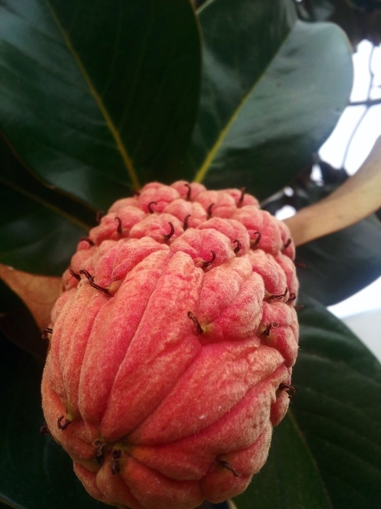 """Magnolia Fruit Madness"" :copyr - deathmaestro | ello"