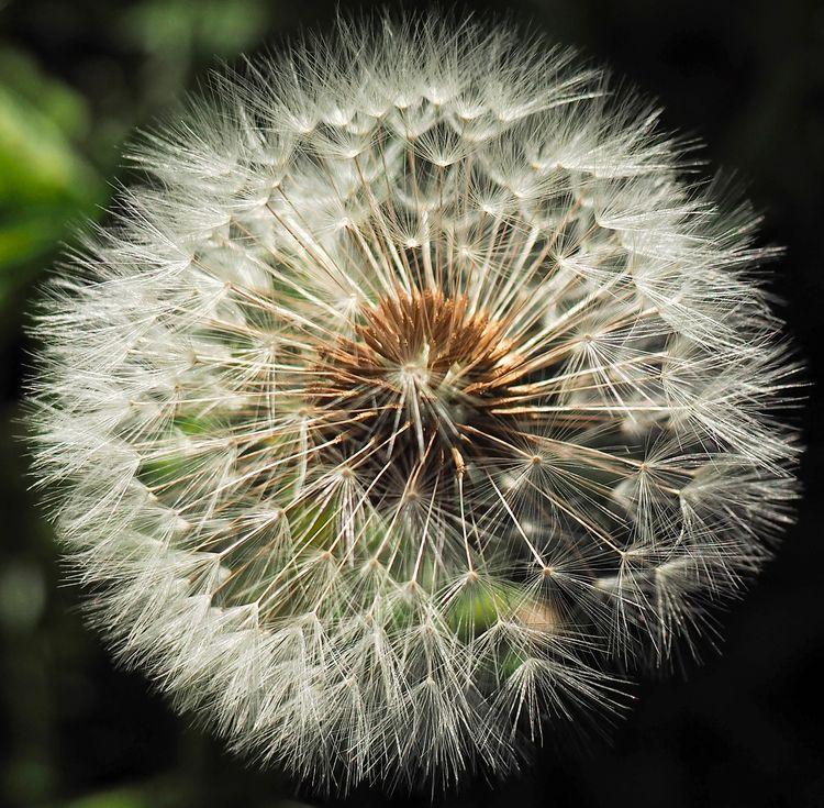 Dandelion - dandelion lit ray S - neilhoward | ello