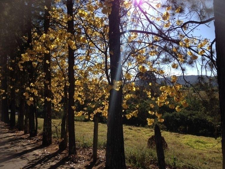 Golden trumpet tree - nofilter - depaulaline | ello