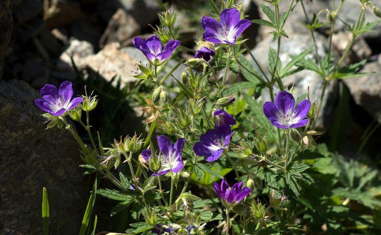 des géraniums sauvages - geranium - gclavet | ello