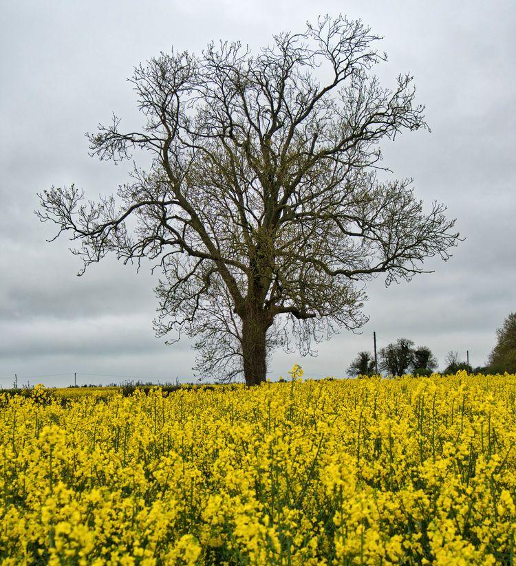 Tree Canola tree field Winchest - neilhoward | ello
