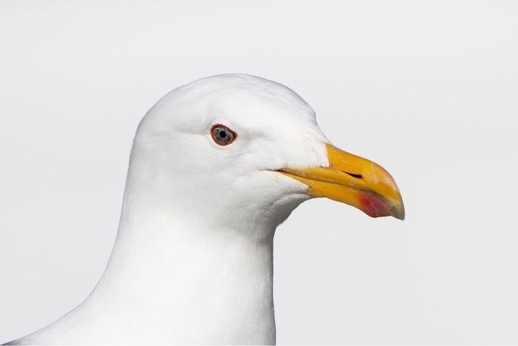 Southern Black-backed Gull / Ka - jt_wildlife | ello