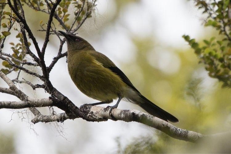 Bellbird / Korimako Anthornis m - jt_wildlife | ello