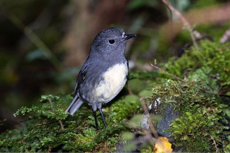 SI Robin / Toutouwai Petroica a - jt_wildlife | ello