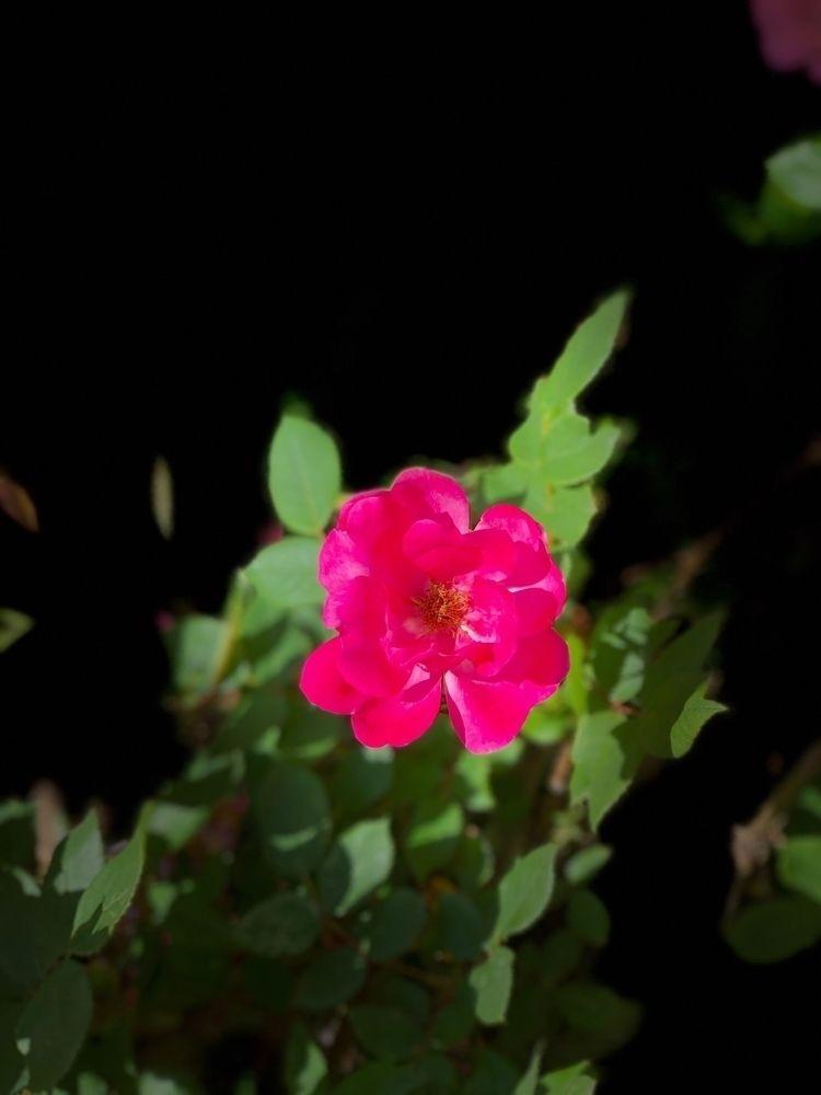roses, flowers - baccarati | ello