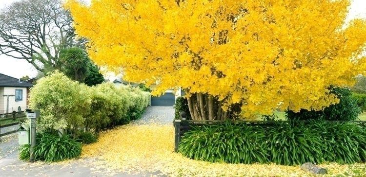 ginkgo (ginkgo biloba) autumn j - michaeljeans | ello