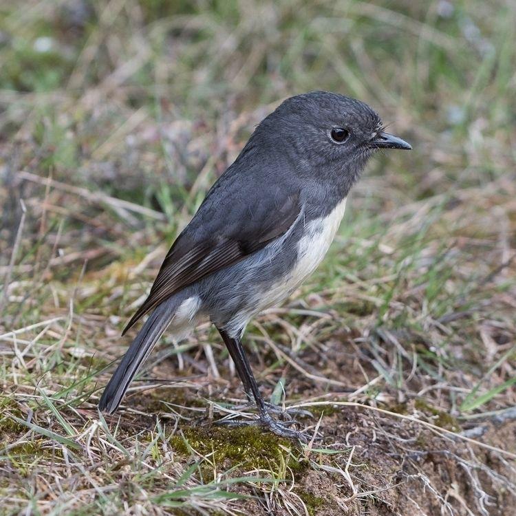 SI Robin / Toutouwai adult Petr - jt_wildlife | ello