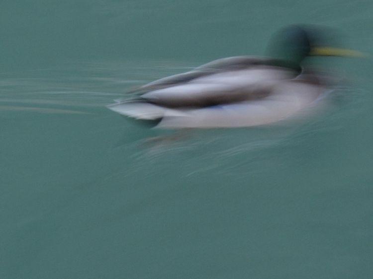 duck, water, colour, color, feather - jonlanbroa | ello
