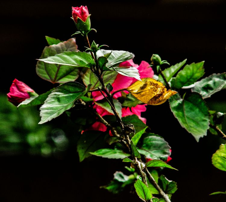 Hibicus Flower - hiepduong | ello