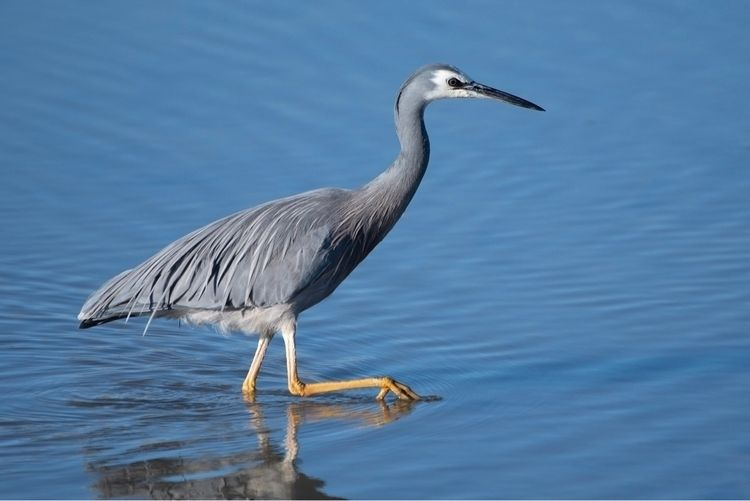 White faced heron / Matuku moan - jt_wildlife | ello