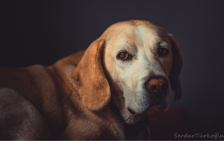 dog, portrait - serdart | ello