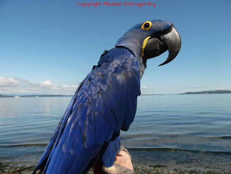 Study Blue. Hyacinth Macaw Prin - michaelostrogorsky   ello