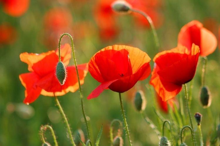 Poppies, redandgreeen, spring - alles_banane | ello