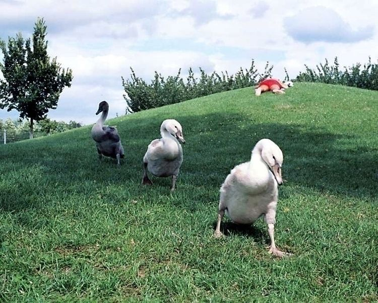 Young swans - taiban | ello