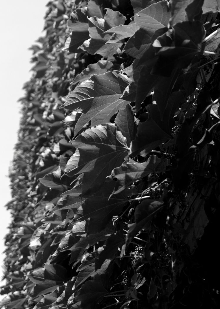 wall leaves - blackandwhite, blackandwhitephotography - pjlsee | ello
