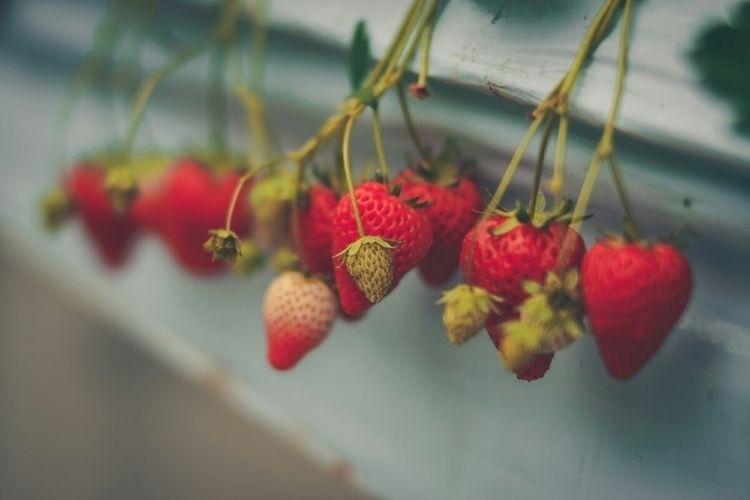 Strawberries located,  - ポールポール - fokality   ello