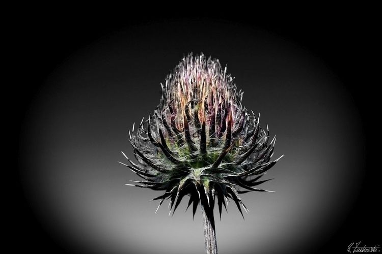 californian-red-venus-thistle - robzucho, - abstractcolorism | ello