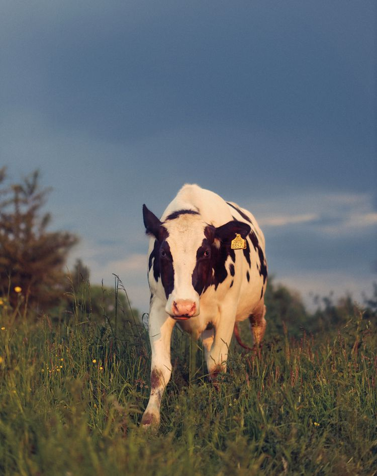 happy - animals, color, cow, goldenhour - klaasphoto | ello