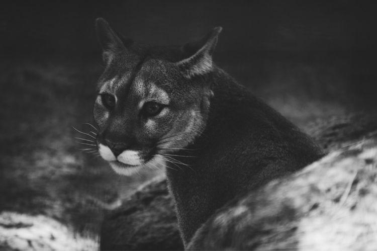 Mountain Lion  - lion, mountainlion - sarros_photography | ello