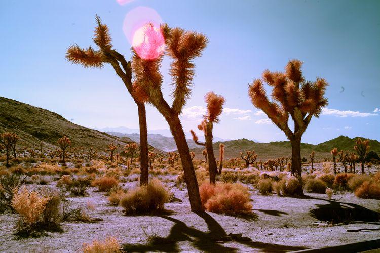 Joshua Trees - infraredphotography - shawnangelski | ello