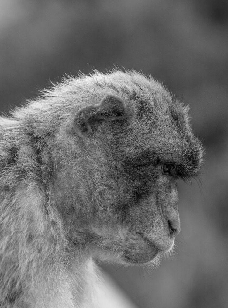 Silver Macaques collection imag - zach | ello