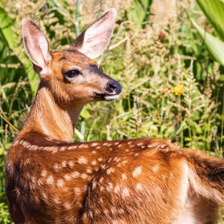 cuter spotted fawn - wildlife, wildlifephotography - illuminationsfromtheattic | ello